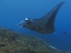 manta ray diving Bali