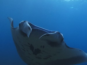 manta ray diving Bali