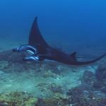 manta ray diving Bali at manta point