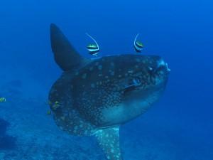 mola mola ocean sunfish diving bali