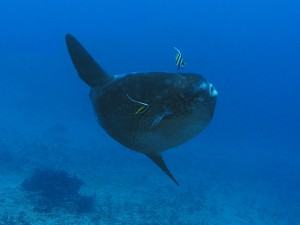 mola mola ocean sunfish diving bali