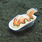 nudibranch diving bali