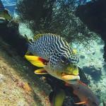 sweetlips diving bali