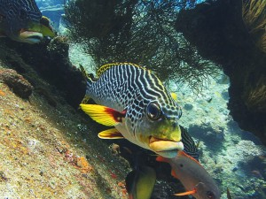 sweetlips diving bali