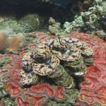 tridacna diving bali
