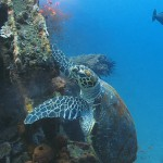 sea turtle diving bali