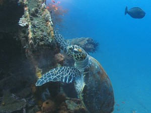 sea turtle diving bali