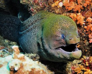giant moray diving bali