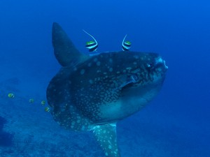 mola mola diving Bali