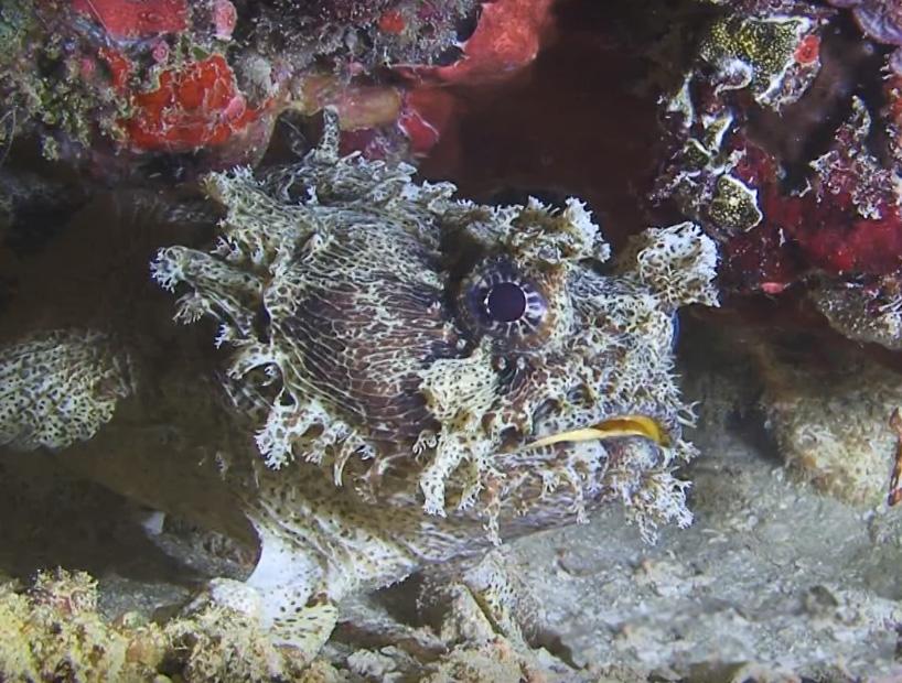 Toadfish diving Raja Ampat
