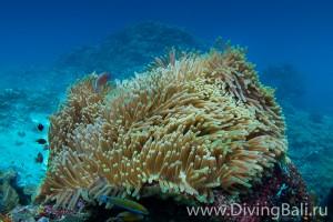 anemon diving Bali