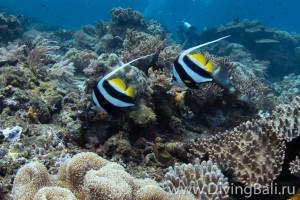 banner fish diving Bali