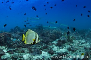 batfish diving Bali