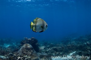 bat fish diving Bali