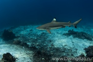blacktip shark diving Bali