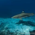 blacktip shark diving Bali