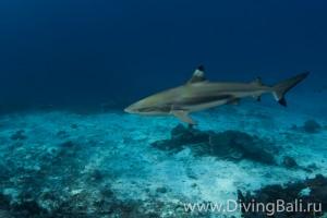черноперая рифовая акула дайвинг на Бали