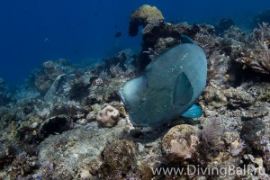 humphead parrotfish diving Bali