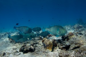 bumphead parrotfish diving Bali