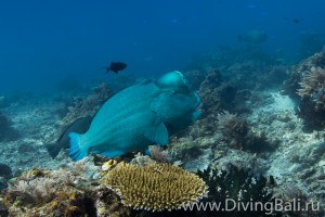 bumphead parrotfish diving Bali