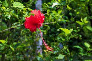 Цветок гибискуса в Сануре