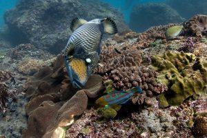 Спинорог triggerfish дайвинг на Бали