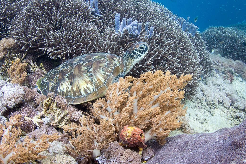 Черепаха дайвинг на Бали