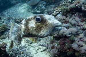 Рыба-еж (Porcupinefish) в Сакенан (Sakenan)