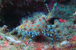 Saron shrimp or marbled shrimp