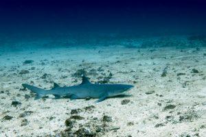 Белоперая рифовая акула. Дайвинг на Бали.