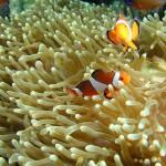 рыба клоун, дайвинг на Бали
