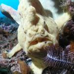 рыба лягушка, дайвинг на Бали