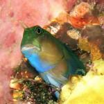 gobies fish diving bali