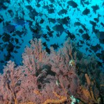 мягкий коралл на дайвинге на Бали