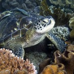 зеленая черепаха на дайвинге на Бали