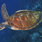 turtle diving bali