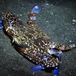 blue crab diving lembeh bali