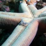 harlequin shrimp diving lembeh bali