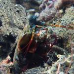 mantis shrimp diving lembeh bali