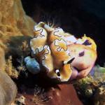 голожаберный моллюск, дайвинг на Лембе