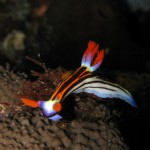 голожаберный моллюск на дайвинге на Бали