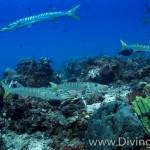 barracuda diving Bali