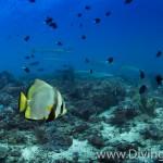 batfish diving Bali