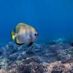 bat fish diving Bali