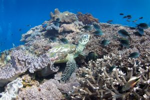 Черепаха в Crystal Bay дайвинг на бали