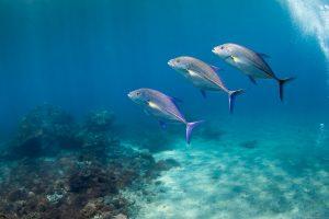 Каранксы (Bluefin trevallies) в Crystal Bay