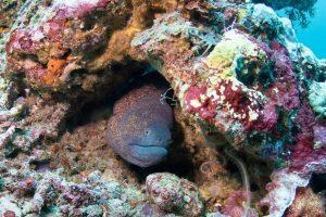 Мурена прячется в кораллах в Crystal Bay