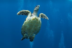 Черепаха - дайвинг на Бали