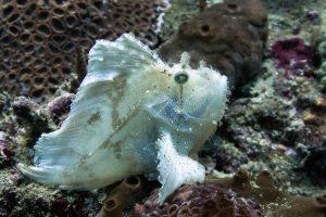 Leaffish (рыба-лист) - дайвинг на Бали