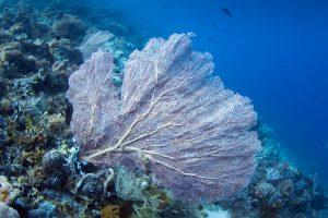 Веерный коралл или горгонария, дайвиг на Бали